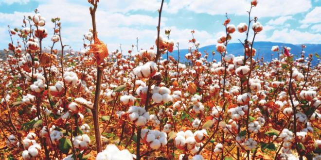 fair trade cotton